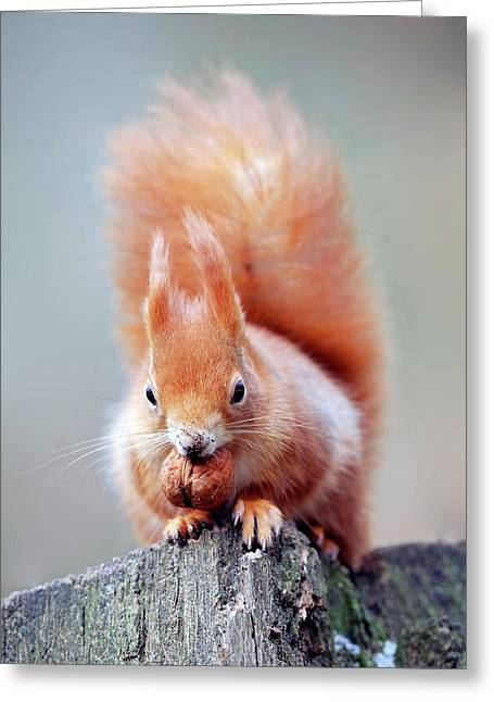 Red Squirrel Eating A Nut Greeting Card by Bildagentur-online/mcphoto-schulz