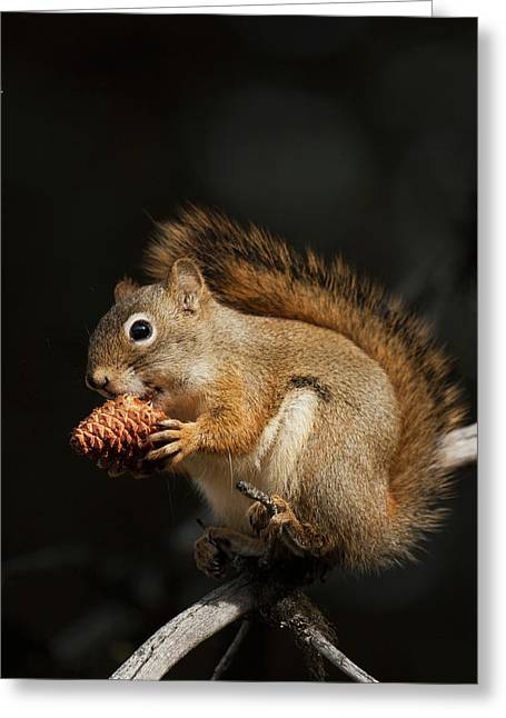 Red Squirrel Eating Pine Nut Greeting Card by Ken Archer