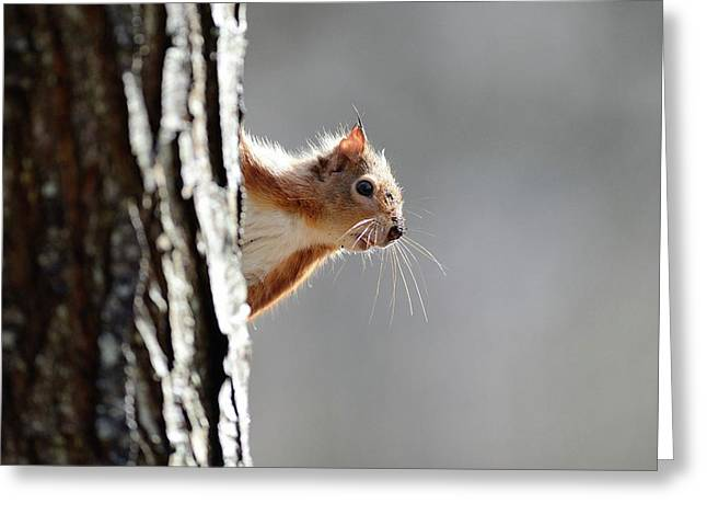 Red Squirrel On A Tree Greeting Card by Colin Varndell