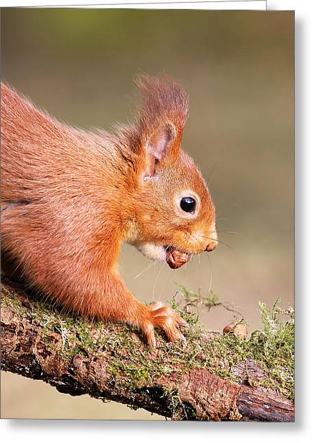 Bushy Tail Greeting Cards - Red Squirrel on log Greeting Card by Grant Glendinning