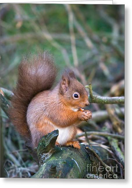 Creature Eating Greeting Cards - Red squirrel Greeting Card by Ruth Black