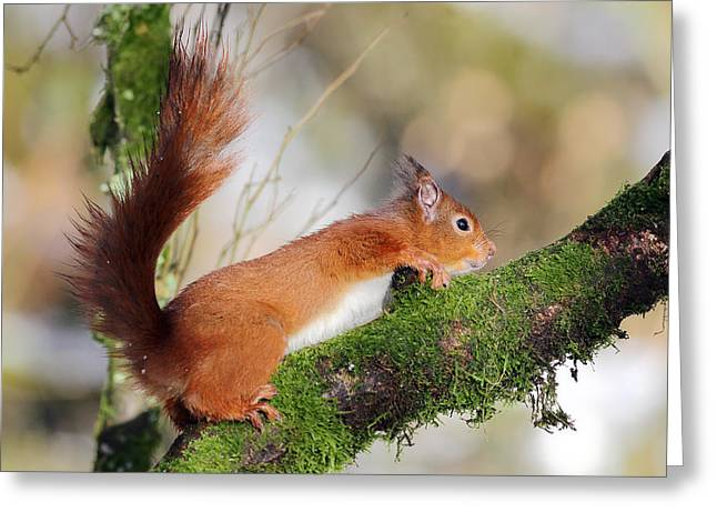 Scotland Greeting Cards - Red Squirrel Scotland Greeting Card by Grant Glendinning