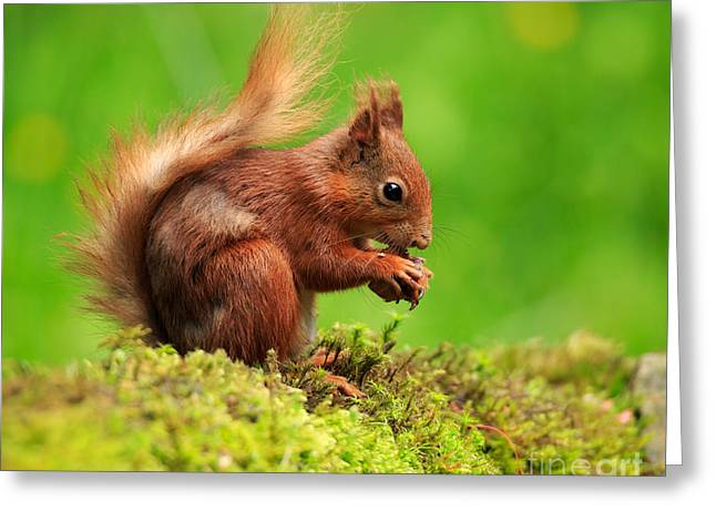 Nut Trees Greeting Cards - Red Squirrel with a nut Greeting Card by Louise Heusinkveld