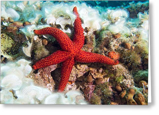Pictures Sea Creatures Photographs Greeting Cards - Red Starfish Greeting Card by Roy Pedersen