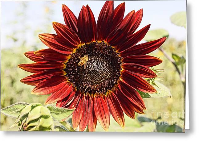Red Sunflower And Bee Greeting Card by Kerri Mortenson