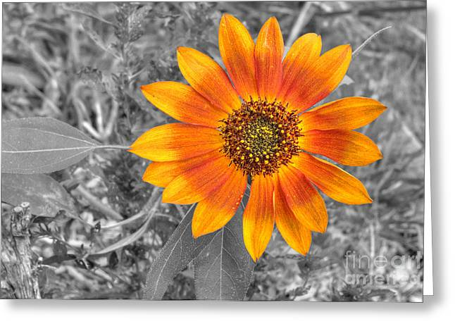 Pollenation Greeting Cards - Red Sunflower Greeting Card by Deborah Smolinske