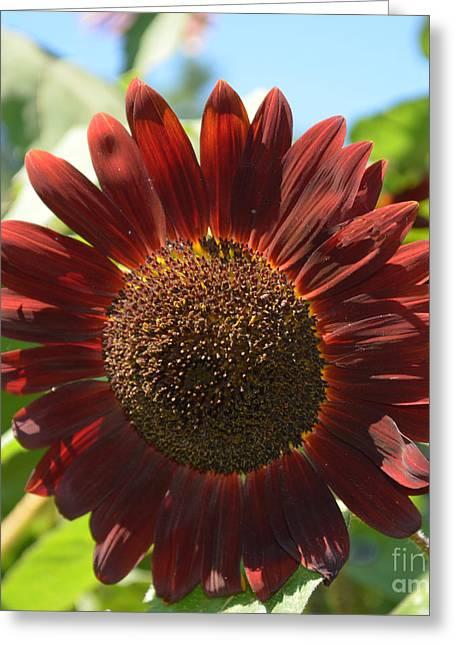 Harvest Art Greeting Cards -  Flower - Red Sunflower - Luther Fine Art Greeting Card by Luther Fine Art