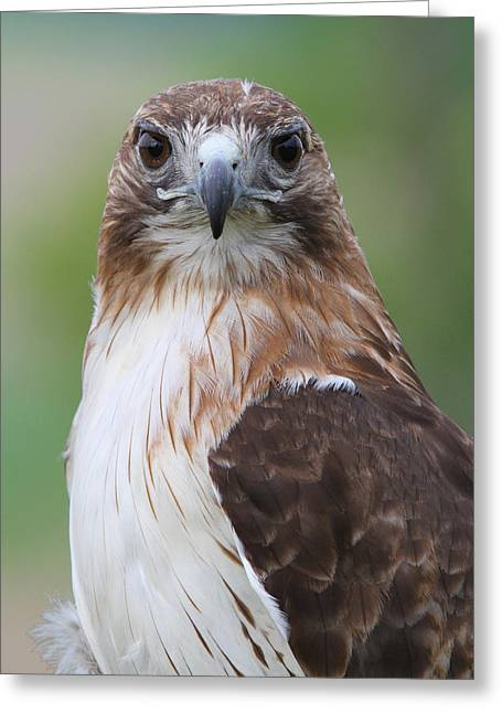 David Yunker Greeting Cards - Red Tail Greeting Card by David Yunker