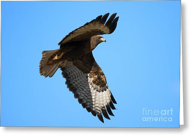 Red-tailed Hawk Greeting Cards - Red-Tail Flight Greeting Card by Mike Dawson