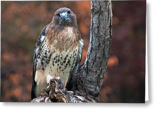 Cheryl Cencich Greeting Cards - Red tail hawk Greeting Card by Cheryl Cencich