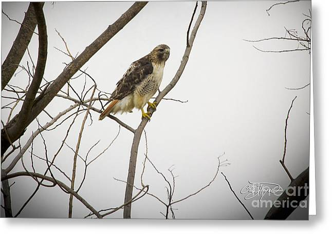Disney Artist Greeting Cards - Red Tail Hawk Greeting Card by Cris Hayes
