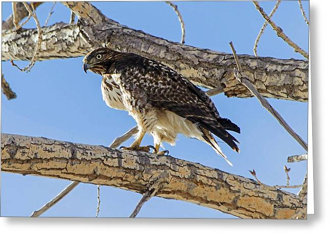 Hawk Creek Greeting Cards - Red Tail Hawk in Cottonwood Tree Greeting Card by Stephen  Johnson
