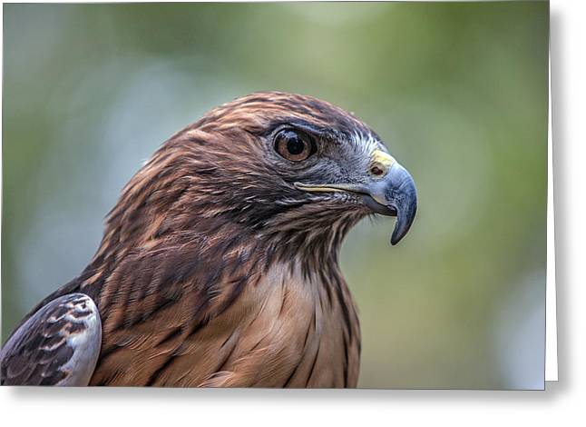 Western North Carolina Greeting Cards - Red Tail Hawk Greeting Card by John Haldane