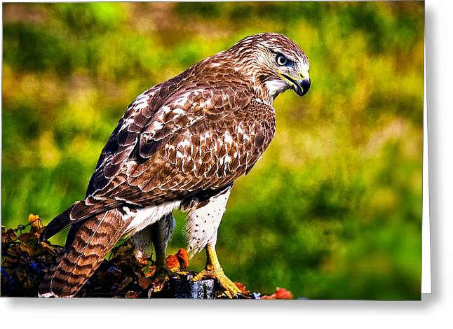Red Tail Hawk Greeting Card by Michael Toy