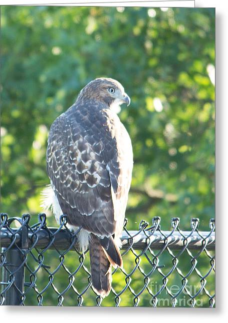 Umass Greeting Cards - Red Tail Hawk on Fence Greeting Card by Victoria  Dauphinee