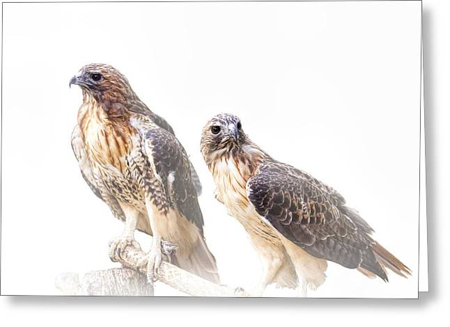 Red Tail Hawk Photo Greeting Cards - Red Tail Hawk Pair on White Background Greeting Card by Randall Nyhof