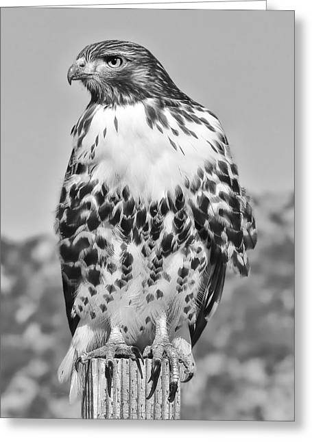 Red-tail Hawk Greeting Cards - Red Tail Hawk Youth Black and White Greeting Card by Jennie Marie Schell