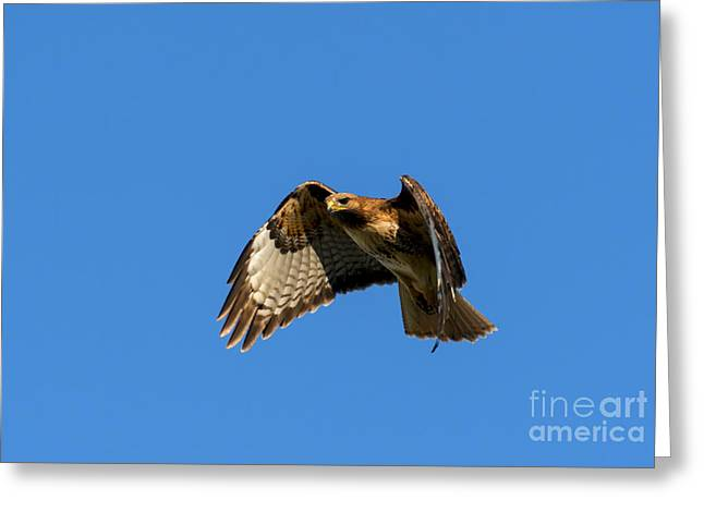 Red-tailed Hawk Greeting Cards - Red-Tail Hover Greeting Card by Mike  Dawson