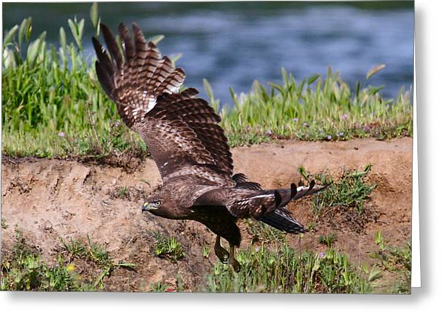 Red Tail On The Hunt Greeting Card by Paul Marto