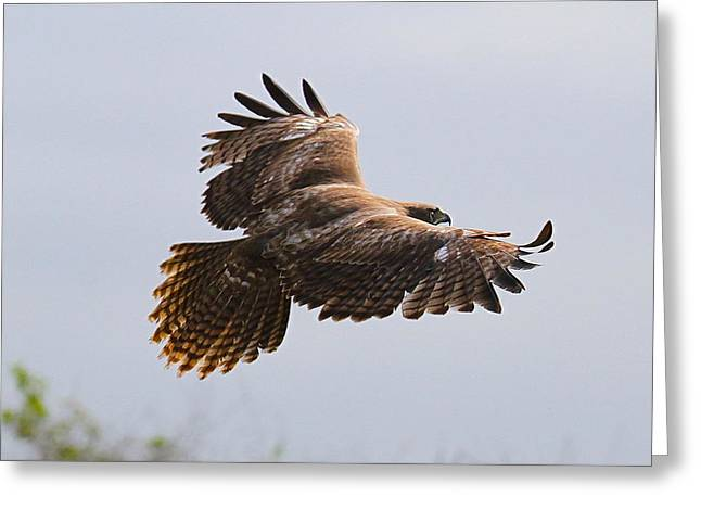 Red Tail Take Off Greeting Card by Paul Marto
