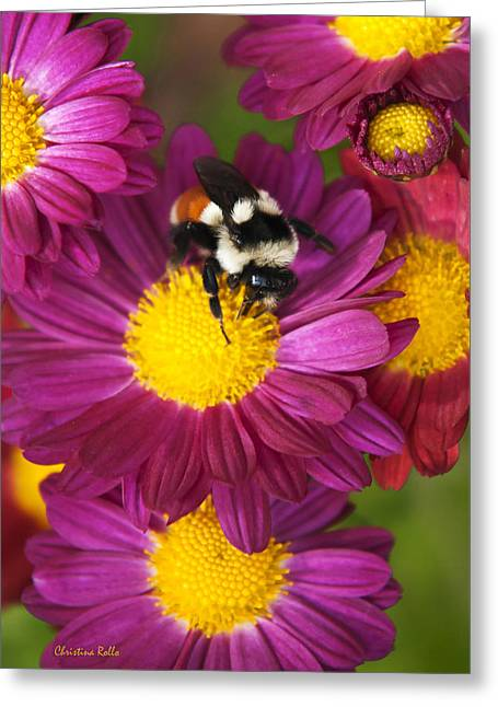 Red-tailed Bumble Bee Greeting Card by Christina Rollo