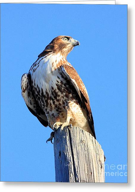 Those Eyes Greeting Cards - Red-Tailed Hawk . 40D10167 Greeting Card by Wingsdomain Art and Photography