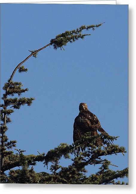 Redtail Hawks Greeting Cards - Red Tailed Hawk 2 Greeting Card by Ernie Echols