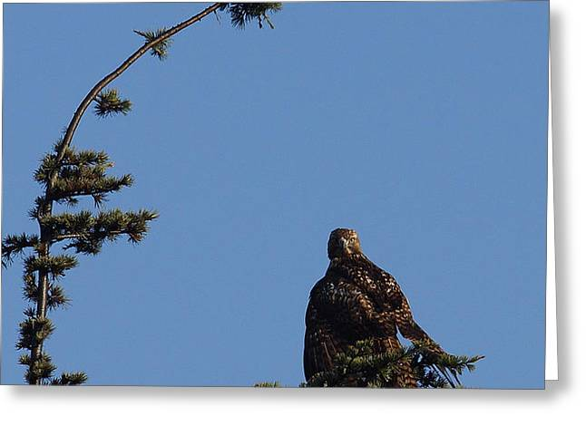 Red Tailed Hawk 2 Greeting Card by Ernie Echols
