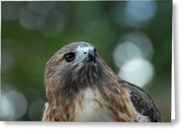 Red Tailed Hawk 297 Greeting Card by Joyce StJames