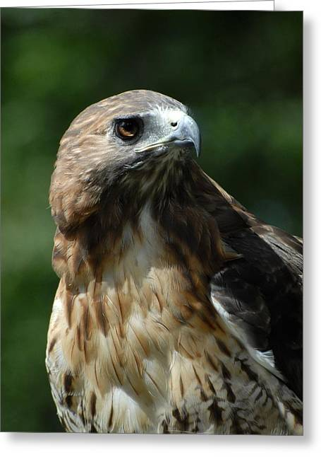 Red Tailed Hawk 301 Greeting Card by Joyce StJames