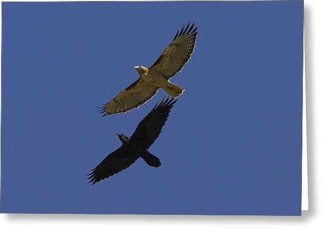 Conformity Greeting Cards - Red-tailed Hawk And Common Raven Flying Greeting Card by San Diego Zoo