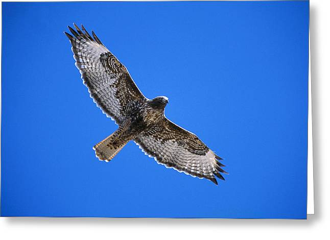 Sulphur Spring Greeting Cards - Red-tailed Hawk Arizona Greeting Card by Tom Vezo
