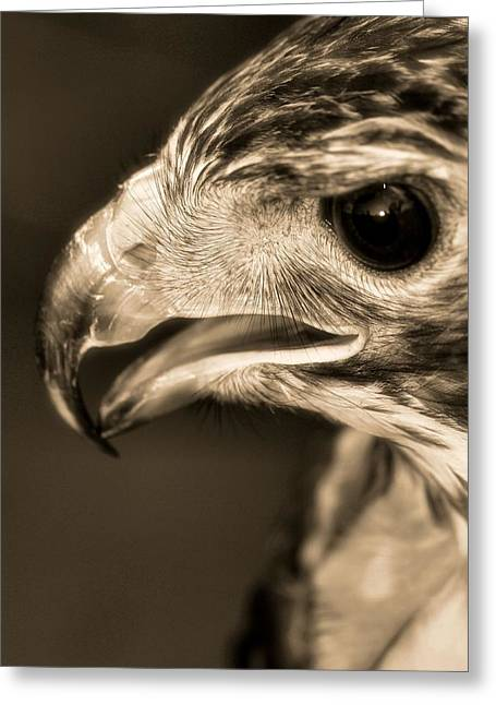 Hawk Greeting Cards - Red Tailed Hawk Greeting Card by Dan Sproul