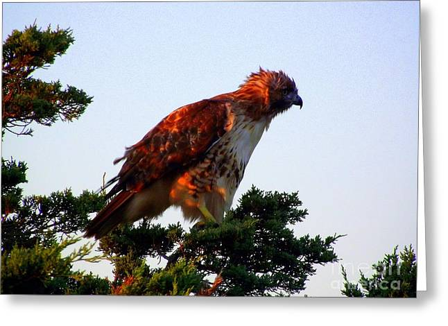 Red-tailed Hawk Fluff Up Greeting Card by CapeScapes Fine Art Photography