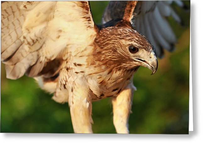 Hawk Greeting Cards - Red Tailed Hawk Hunting Greeting Card by Dan Sproul