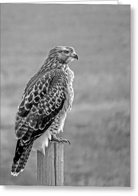 Black Greeting Cards - Red-tailed Hawk in Black and White Greeting Card by Dawn Key