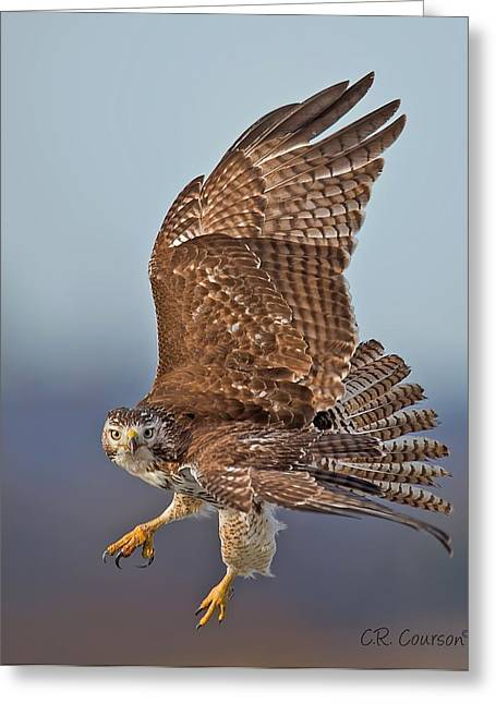 Courson Greeting Cards - Red-tailed Hawk In Flight Greeting Card by CR  Courson