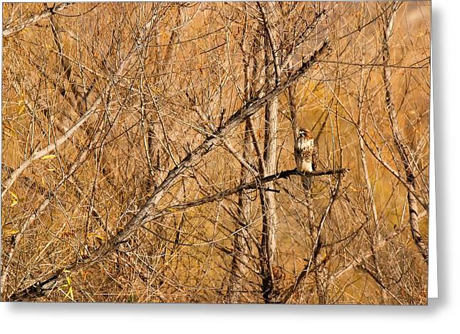 Zoology Greeting Cards - Red-tailed Hawk in habitat - Big Morongo Canyon Preserve California Greeting Card by Ram Vasudev