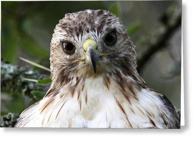 Travis Truelove Photography Greeting Cards - Red-tailed Hawk is a Prince Greeting Card by Travis Truelove