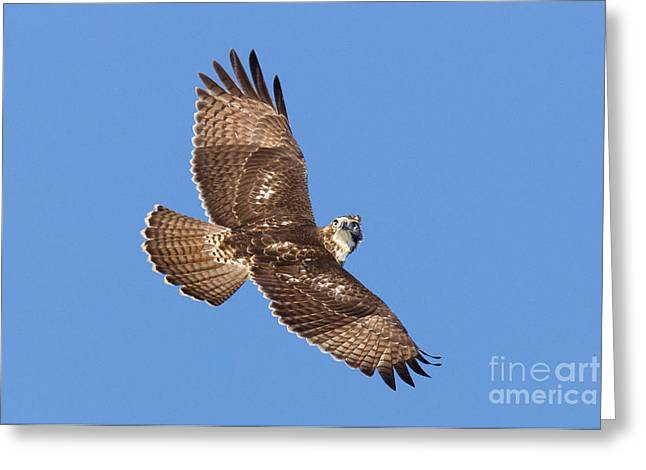 Us Wildllife Greeting Cards - Red-tailed Hawk Greeting Card by Jim Zipp