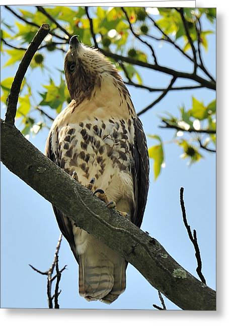 Red Tailed Hawk Juvy Greeting Card by Angel Cher