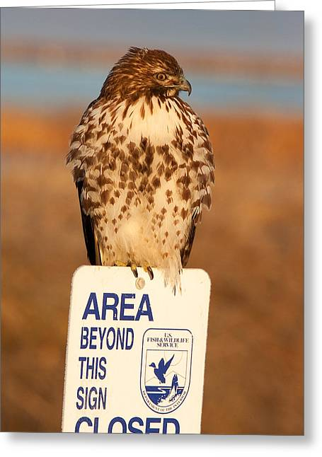 Red Tailed Hawk Lower Klamath National Wildlife Refuge Northern California Greeting Card by Ram Vasudev