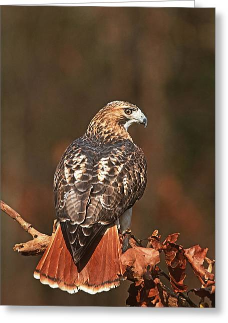 Red Tail Hawk Photo Greeting Cards - Red-tailed Hawk New York Greeting Card by Tom Vezo