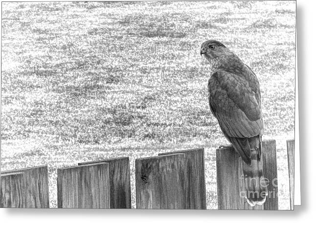 Red-tailed Hawk Greeting Cards - Red Tailed Hawk  Greeting Card by Olivier Le Queinec