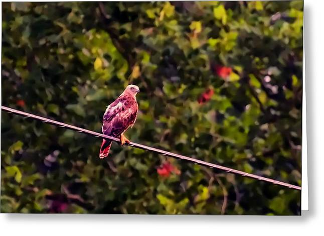 Photos Of Birds Greeting Cards - Red Tailed Hawk On A Wire Greeting Card by Chris Flees