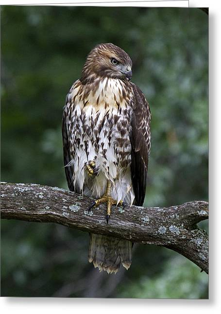Menard Greeting Cards - Red-tailed Hawk on Oak Greeting Card by Eric Mace