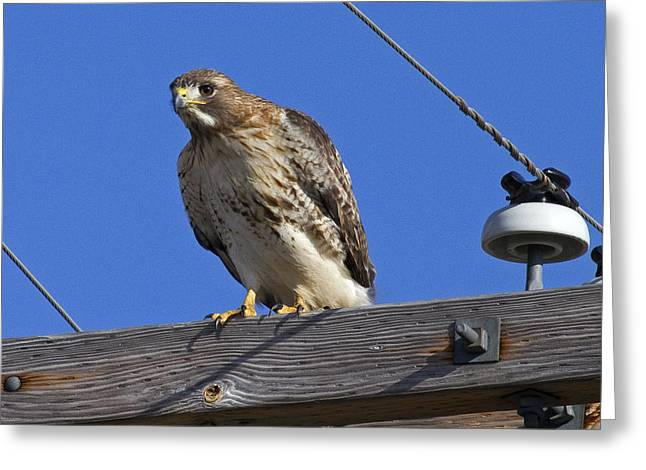 Menard Greeting Cards - Red-tailed Hawk on Power Pole Greeting Card by Eric Mace