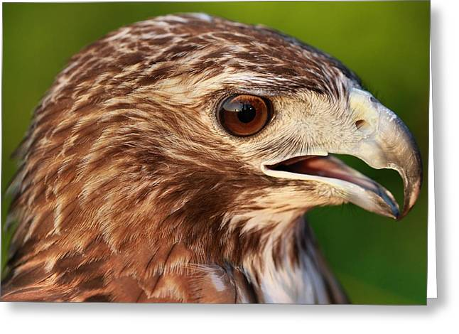 Hawk Greeting Cards - Red Tailed Hawk Portrait Greeting Card by Dan Sproul