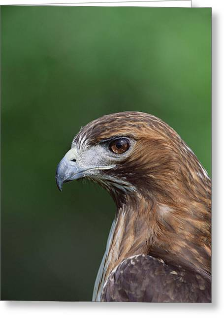 Red Tail Hawk Photo Greeting Cards - Red-tailed Hawk Portrait North America Greeting Card by Konrad Wothe