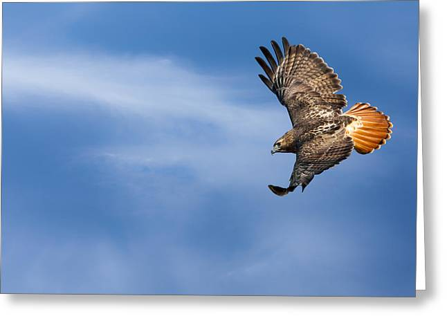 Redtailed Hawks Greeting Cards - Red Tailed Hawk Soaring Greeting Card by Bill  Wakeley